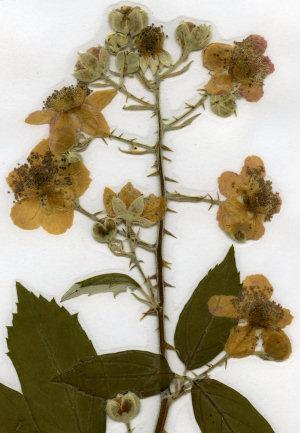 Berühmt Brombeere - Rubus fruticosus. Herbarium: Sammlung getrockneter und #CK_74
