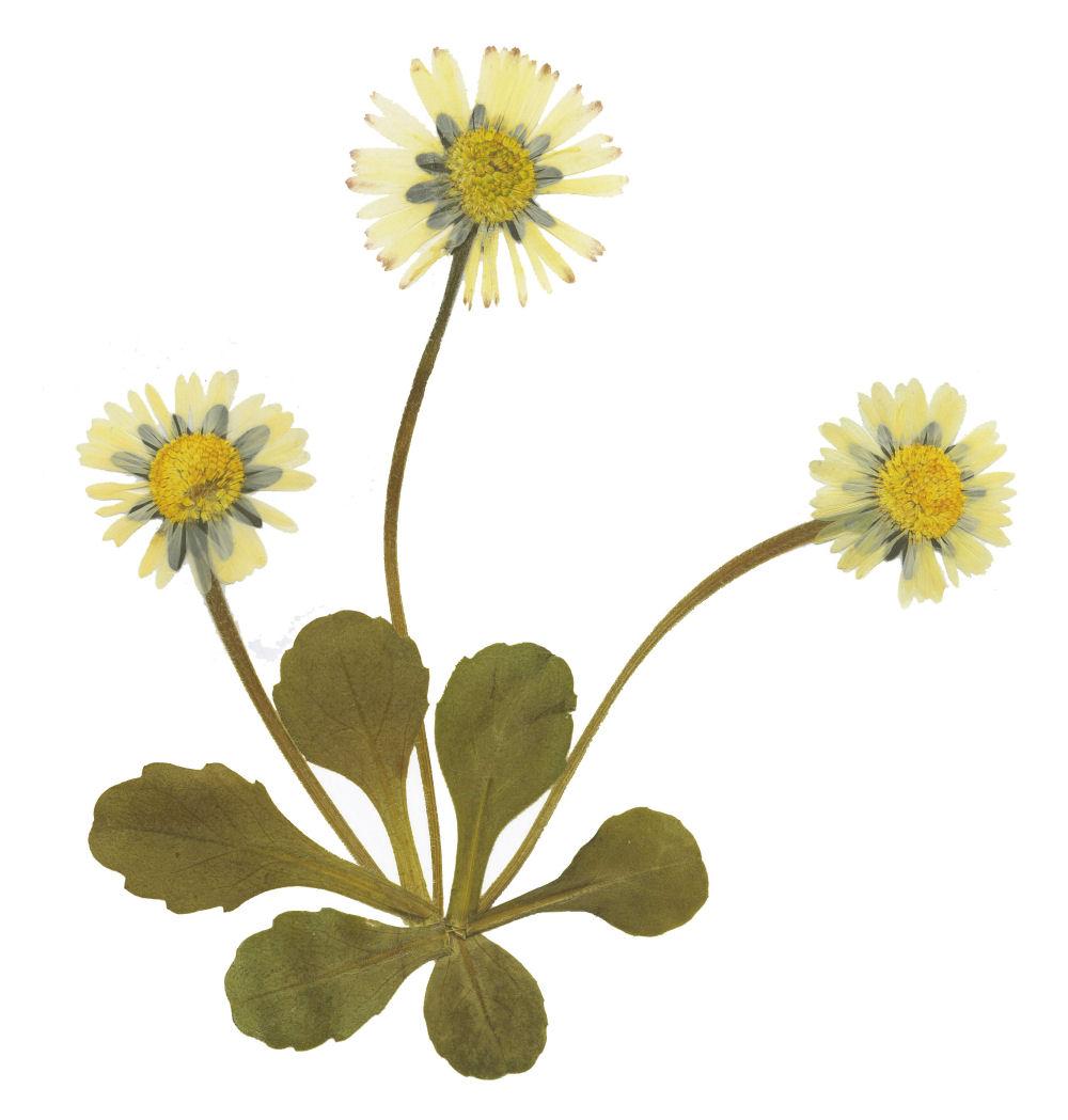 Gänseblümchen - Bellis perennis. Herbarium: Sammlung getrockneter und gepresster Pflanzen und ...