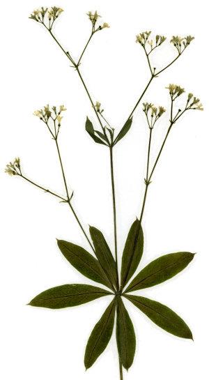 waldmeister galium odoratum herbarium sammlung getrockneter und gepresster pflanzen und. Black Bedroom Furniture Sets. Home Design Ideas